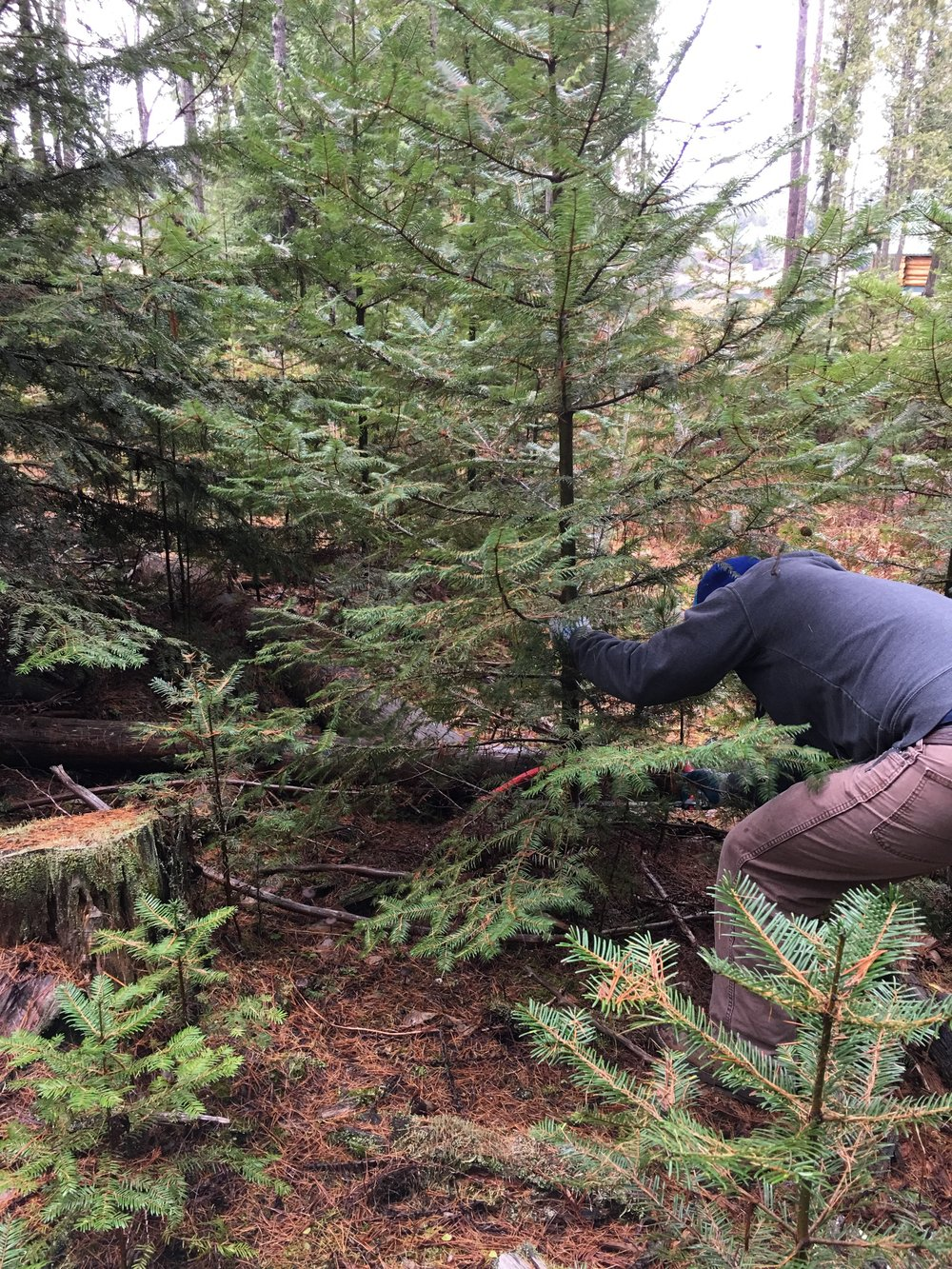 Paul cutting the Christmas tree.