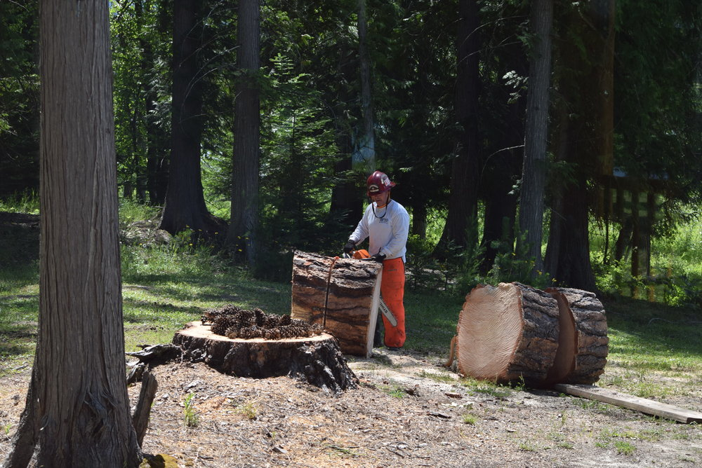 Paul cutting the tree into rounds small enough to move over to the woodshed.