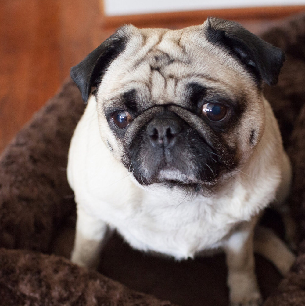 Greg's adorable pug, Bernadette!