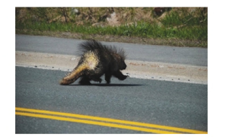 From the book   Porcupines: The Animal Answer Guide