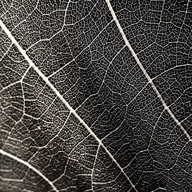 #leaf #skin #veins #vine #istria #malvasia #malvazija #detail #wine #bw #blackandwhite #samsung #galaxy #galaxys8plus #s8plus #s8+ #slovenia #slovenija #vsco