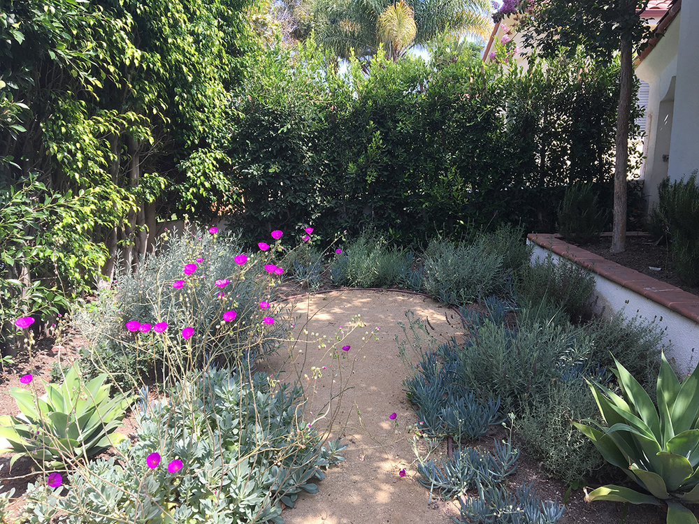 A Mediterranean garden of several kinds of lavenders and succulents.