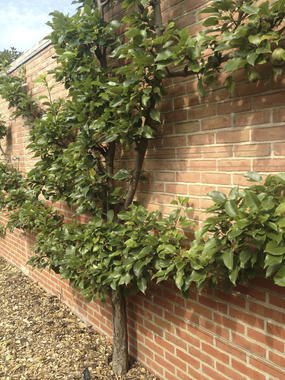 A beautiful example of espalier from the Chicago Botanical Garden