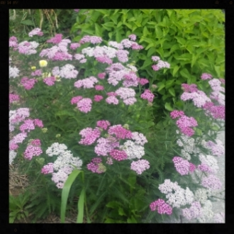 Purple Yarrow.jpg