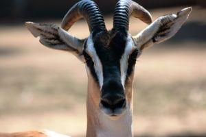 20120130-gazelle-intense.jpg