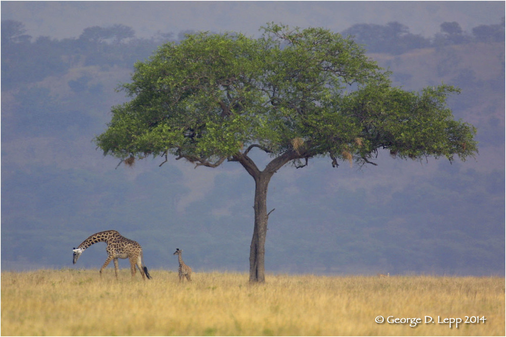 A giraffe with a youngster graze on the Serengeti Plains of Africa.  © George D. Lepp 2014  M-GI-0004