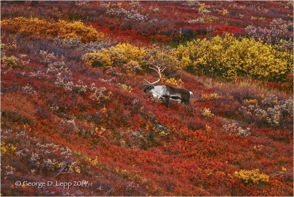 Caribou in Autumn tundra. © George D. Lepp 2014  L-AK-DE-0011