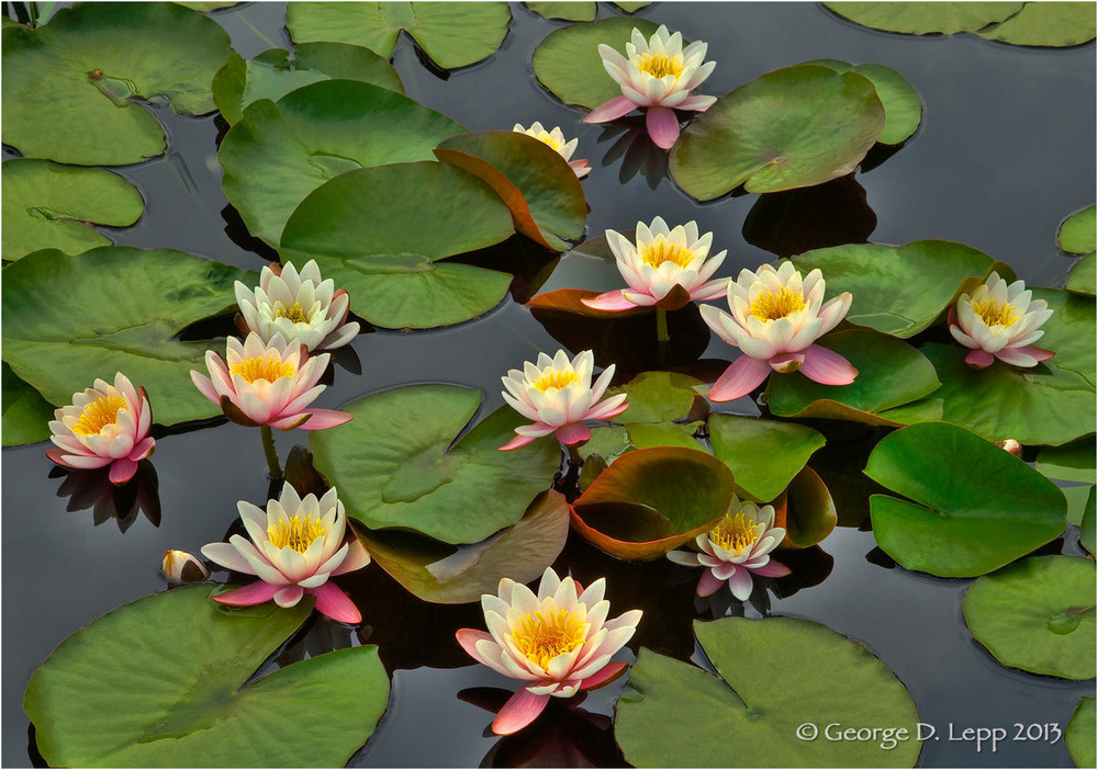 Water Lilies, Denver, Colorado. © George D. Lepp 2013  PG-WA-LI-0001
