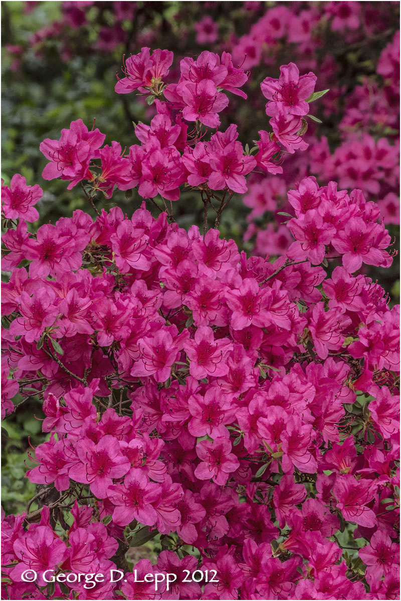 Azaleas, Seattle, Washington. © George D. Lepp 2012  PG--AZ-0006