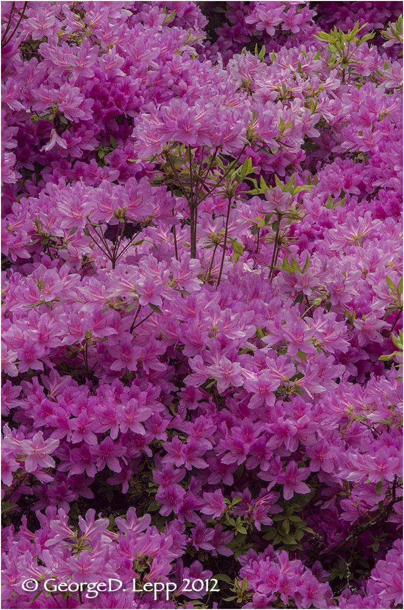 Azaleas, Seattle, Washington. © George D. Lepp 2012  PG-AZ-0008