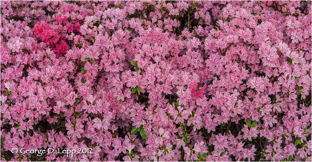 Azaleas, Seattle, Washington. © George D. Lepp 2012  PG-AZ-0003