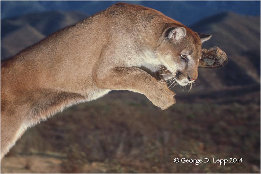 Leaping cougar (Captive). M-CA-MO-0007