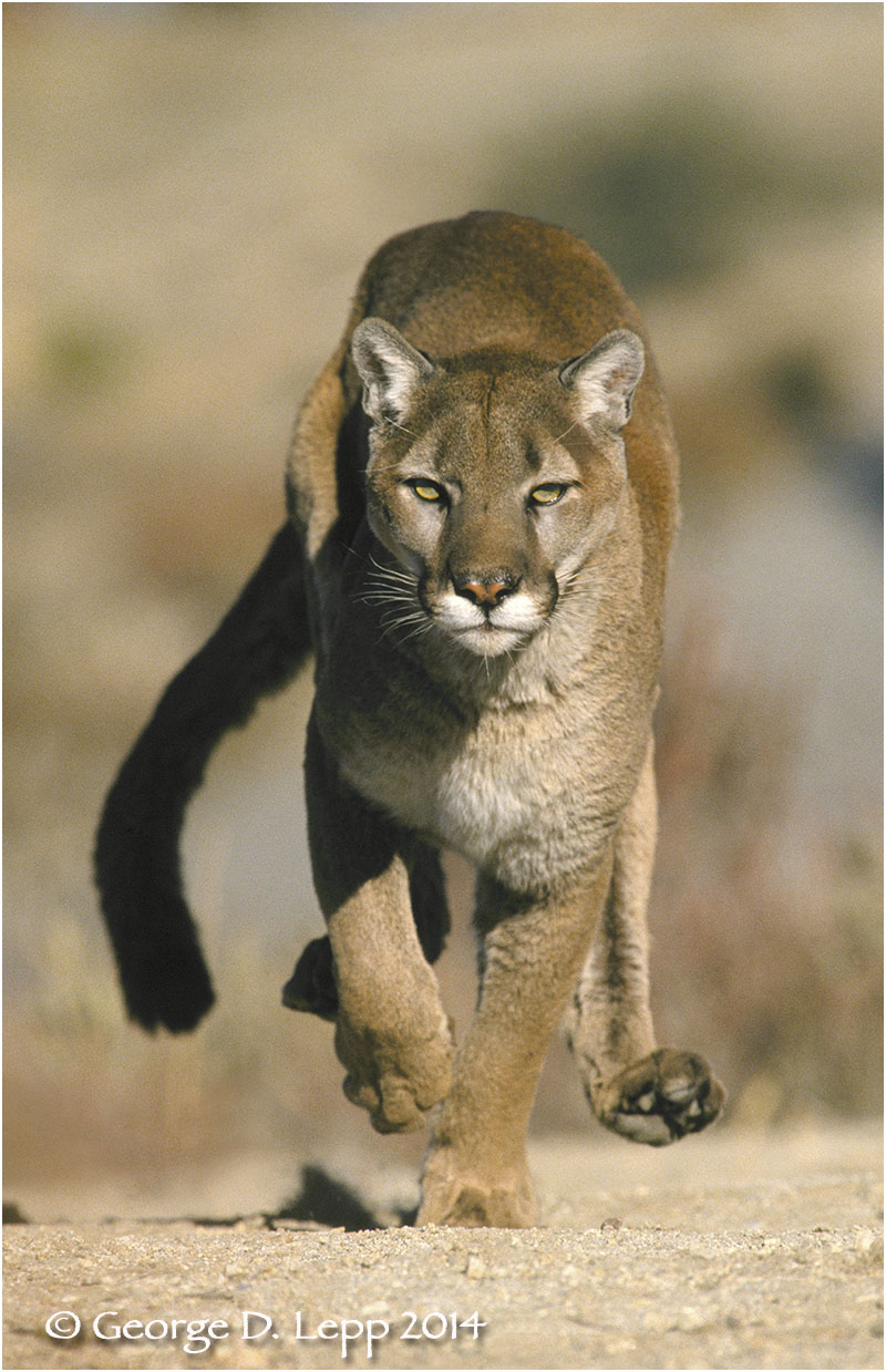 Cougar in stride (Captive). © George D. Lepp 2014  M-CA-MO-0009.