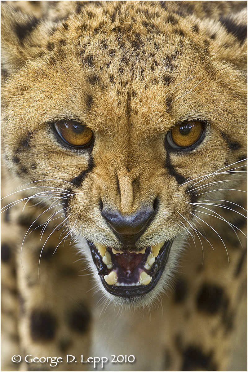 Fierce cheetah (Captive).    © George D. Lepp 2010  M-CA-CH-0001