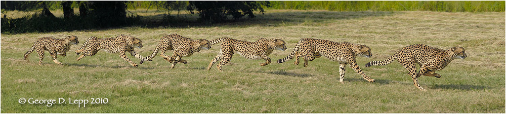 Cheetah in an Action Sequence Panorama (Captive). © George D. Lepp 2010 M-CA-CH-0002