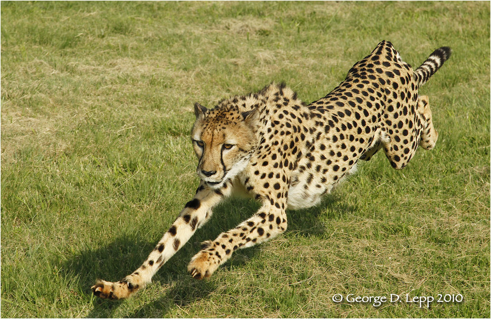 Cheetah in full stride (Captive). © George D. Lepp 2010  M-CA-CH-0005