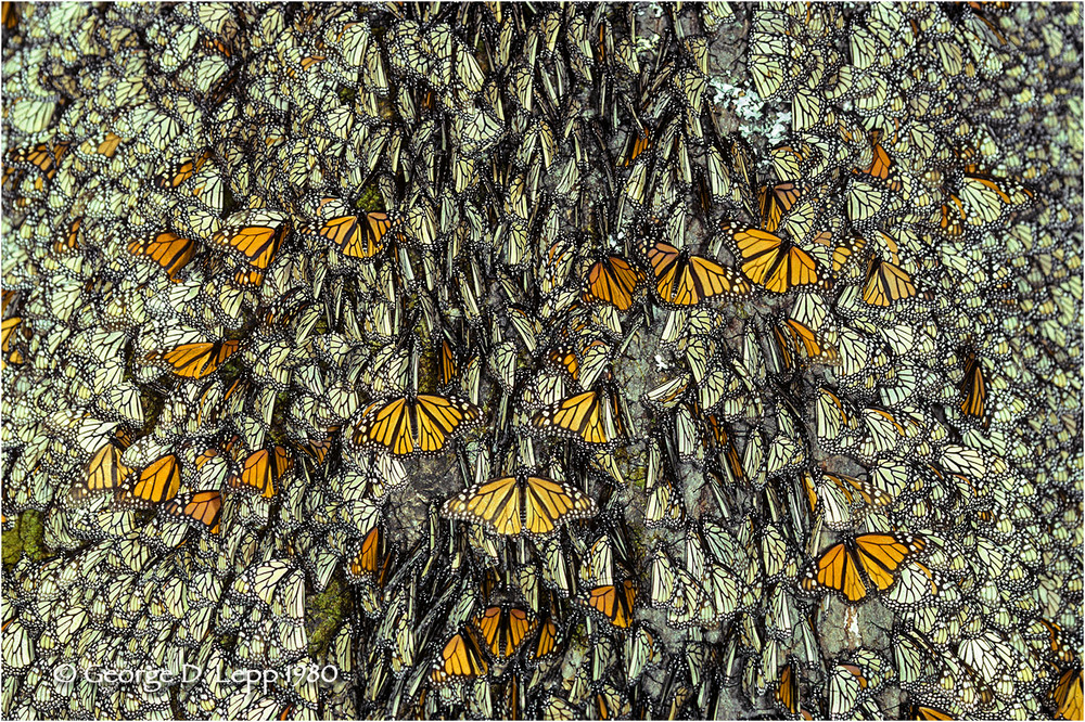 Monarchs overwintering, Mexico. © George D. Lepp 2014   I-LP-MN-0915