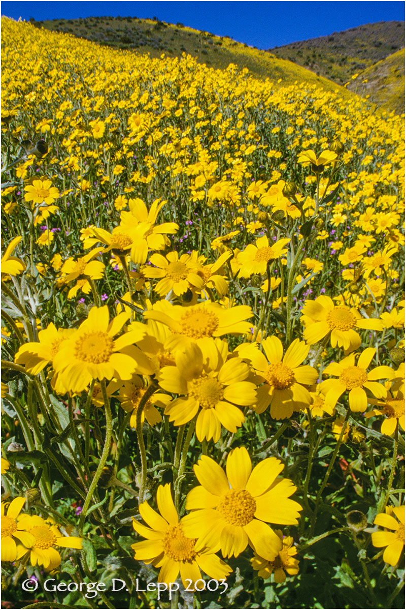 Coreopsis, CA. PW-CR-1004
