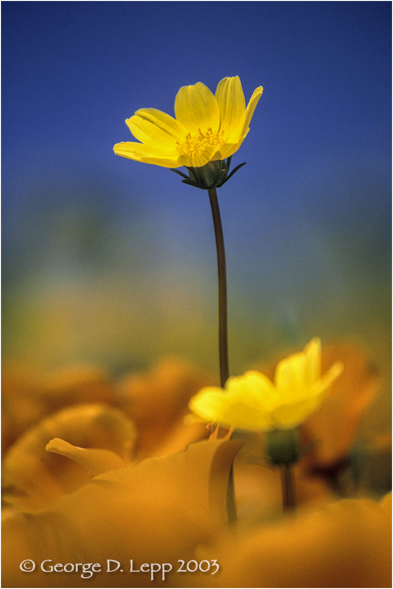 Coreopsis in poppies, CA. PW-CR-0007
