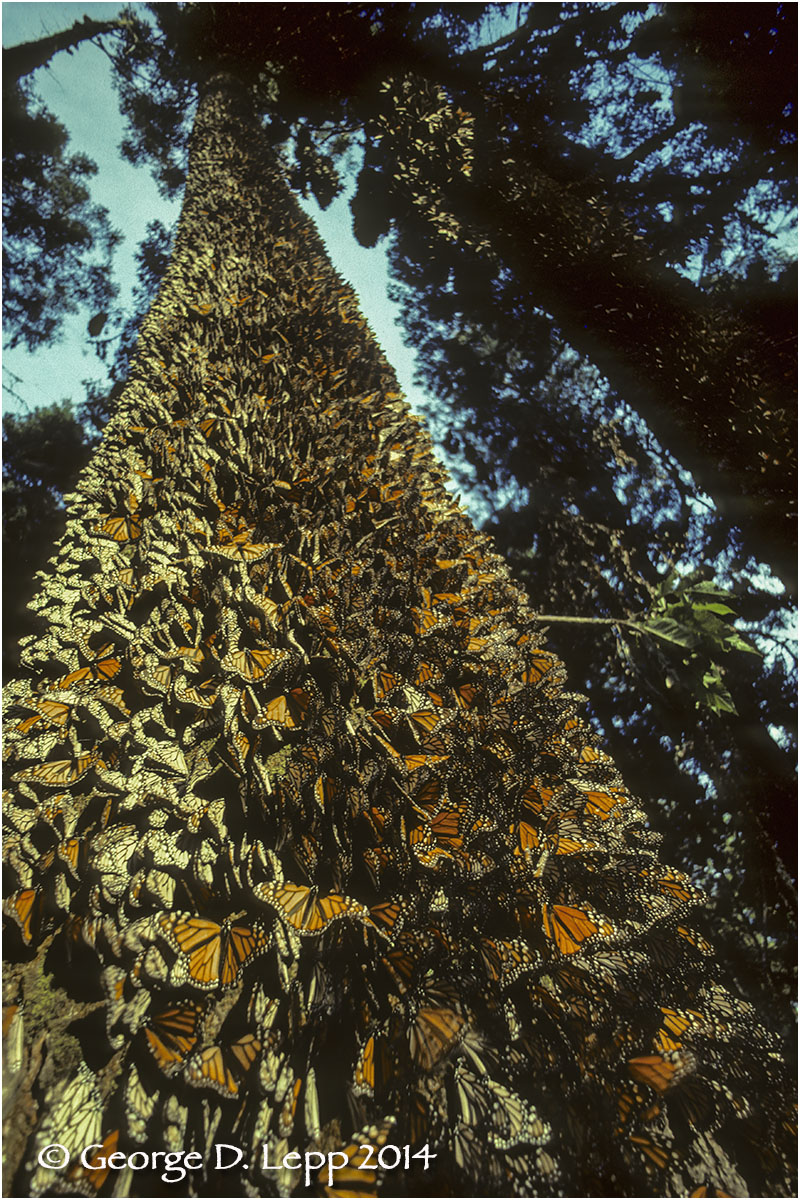 Overwintering Monarchs, Mexico © George D. Lepp 2014  I-LP-MN-0914