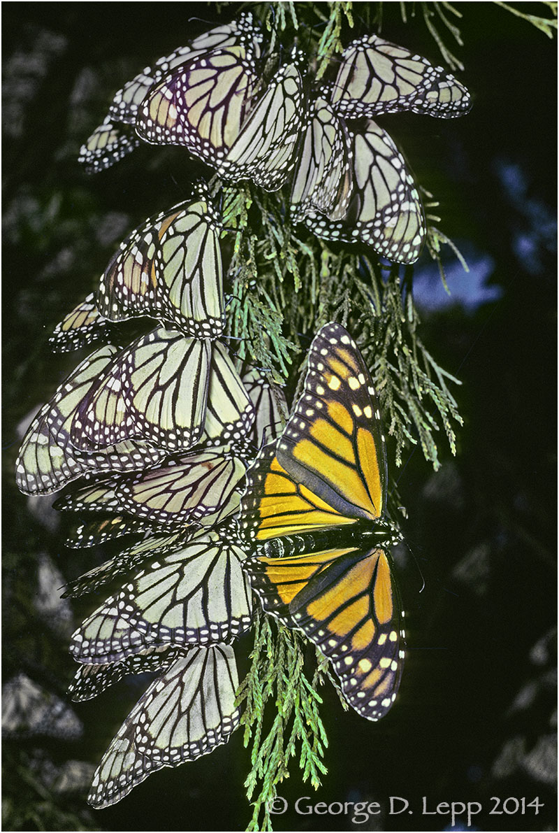 Open Monarch, Overwintering, Mexico.     © George D. Lepp 2014  I-LP-MN-0009