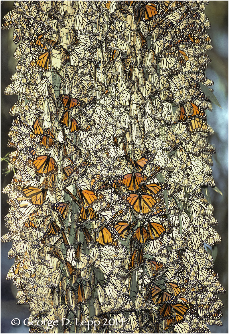 Overwintering Monarchs, California. © George D. Lepp 2014  I-LP-MN-0282