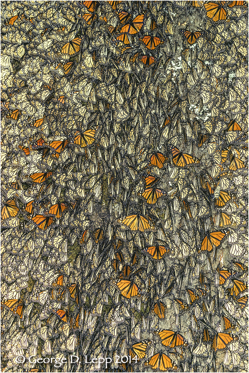Overwintering Monarchs, Mexico. © George D. Lepp 2014  I=LP-MN-0577