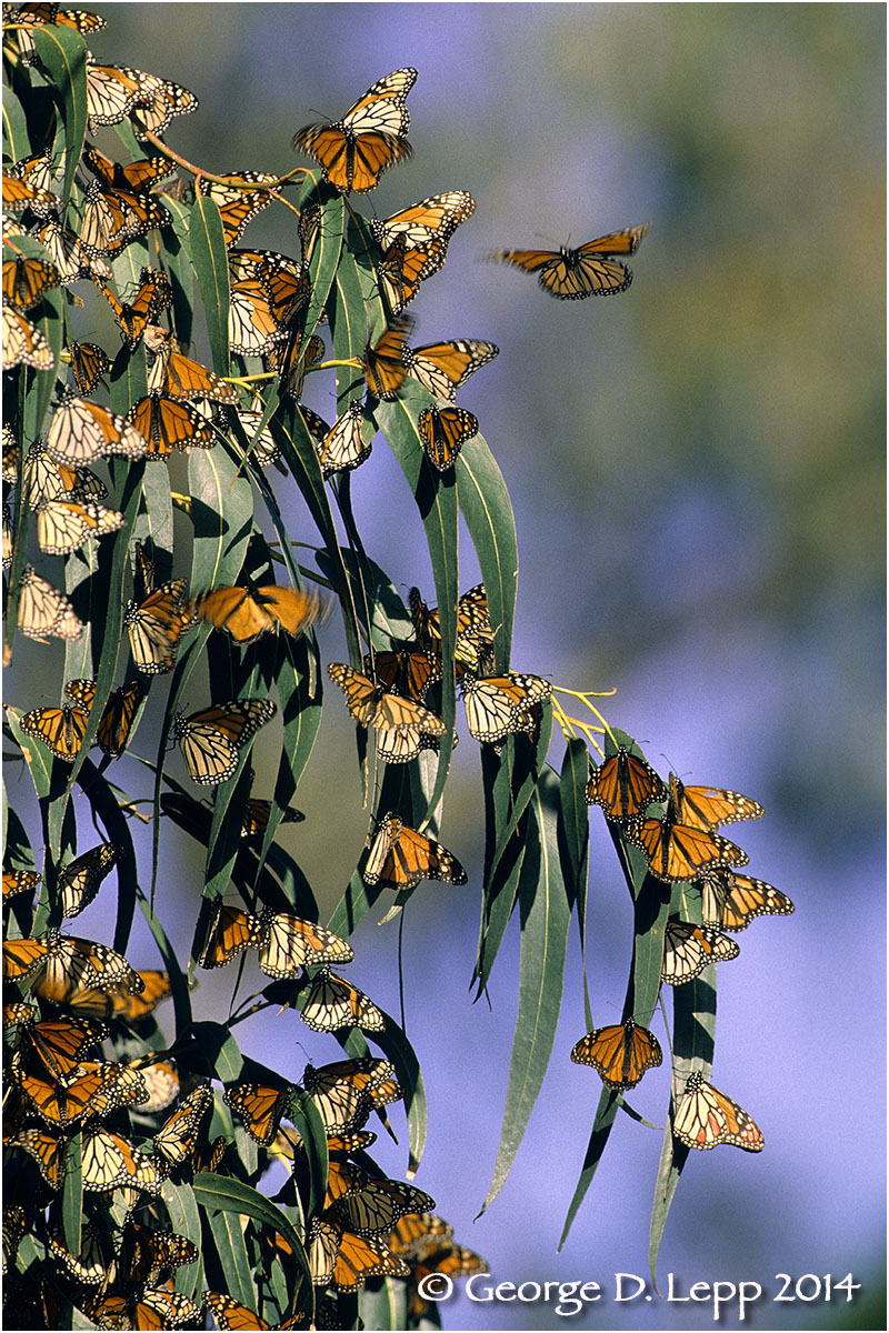 Overwintering Monarchs, CA.  © George D. Lepp 2014  . I-LP-MN-0896