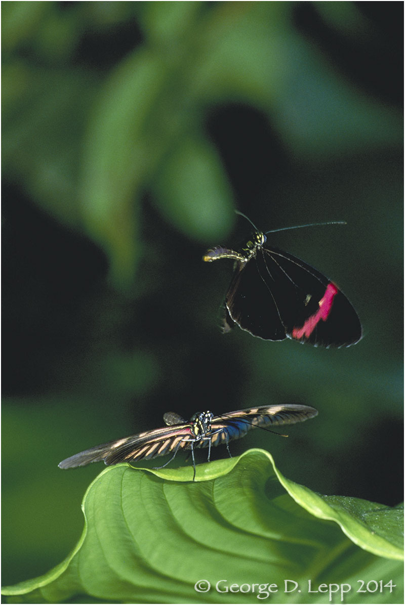 Heliconia butterflies  © George D. Lepp 2014  . I-LP-HE-0001