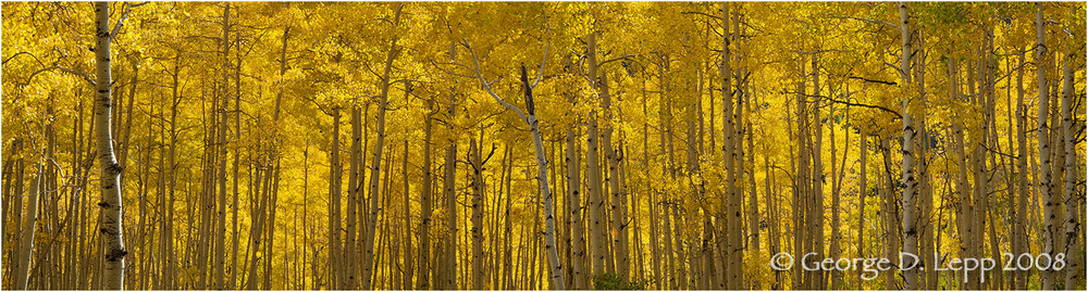 Aspens, Owl Creek Pass, Colorado. © George D. Lepp 2008  L-CO-OW-0013