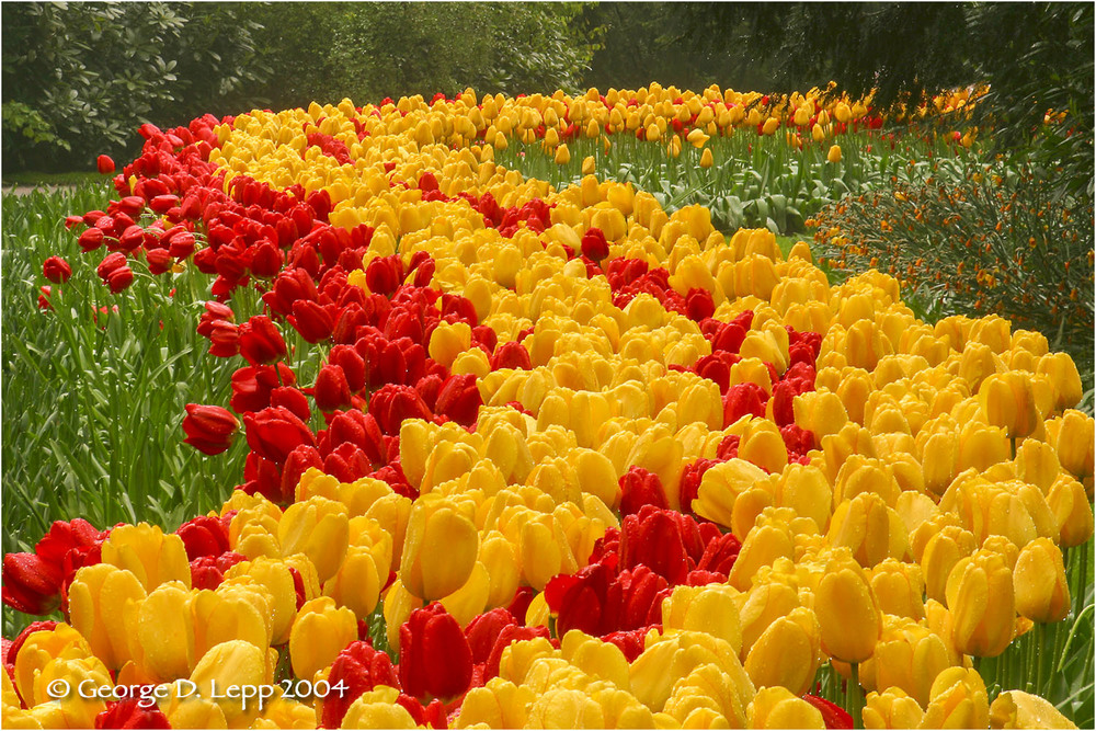 Tulips, Holland. © George D. Lepp 2014  PG-TU-0003