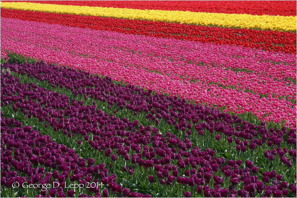 Tulips, Holland. © George D. Lepp 2014  PG-TU-0001