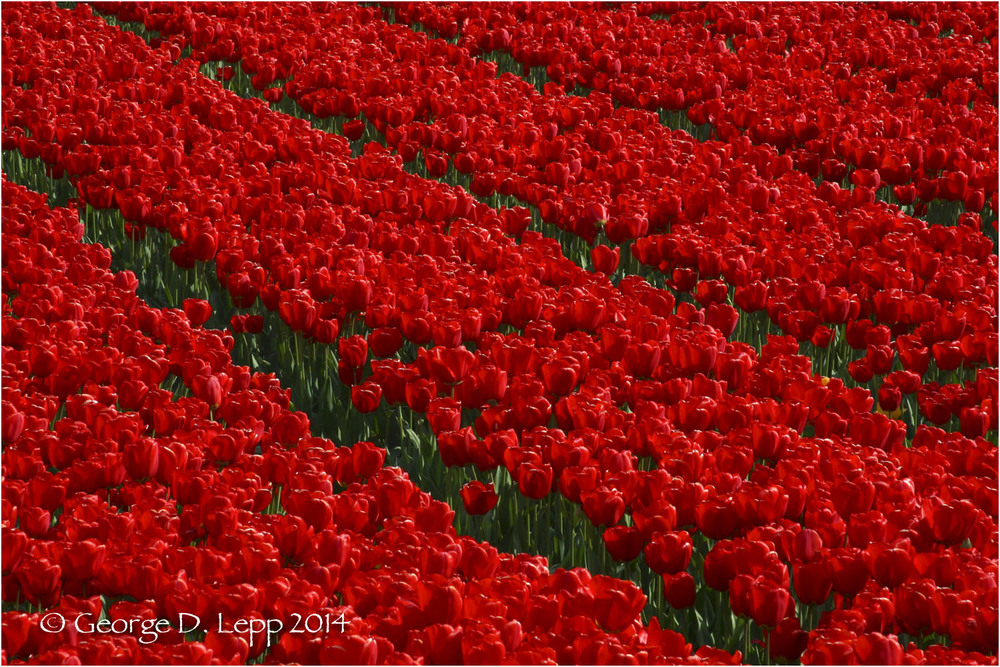 Tulips, Holland. © George D. Lepp 2014  PG-TU-0004
