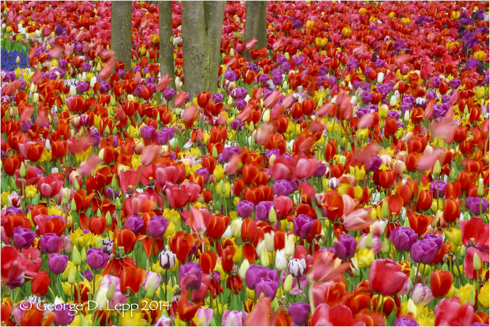 Tulips, Holland. © George D. Lepp 2014  PG-TU-0002