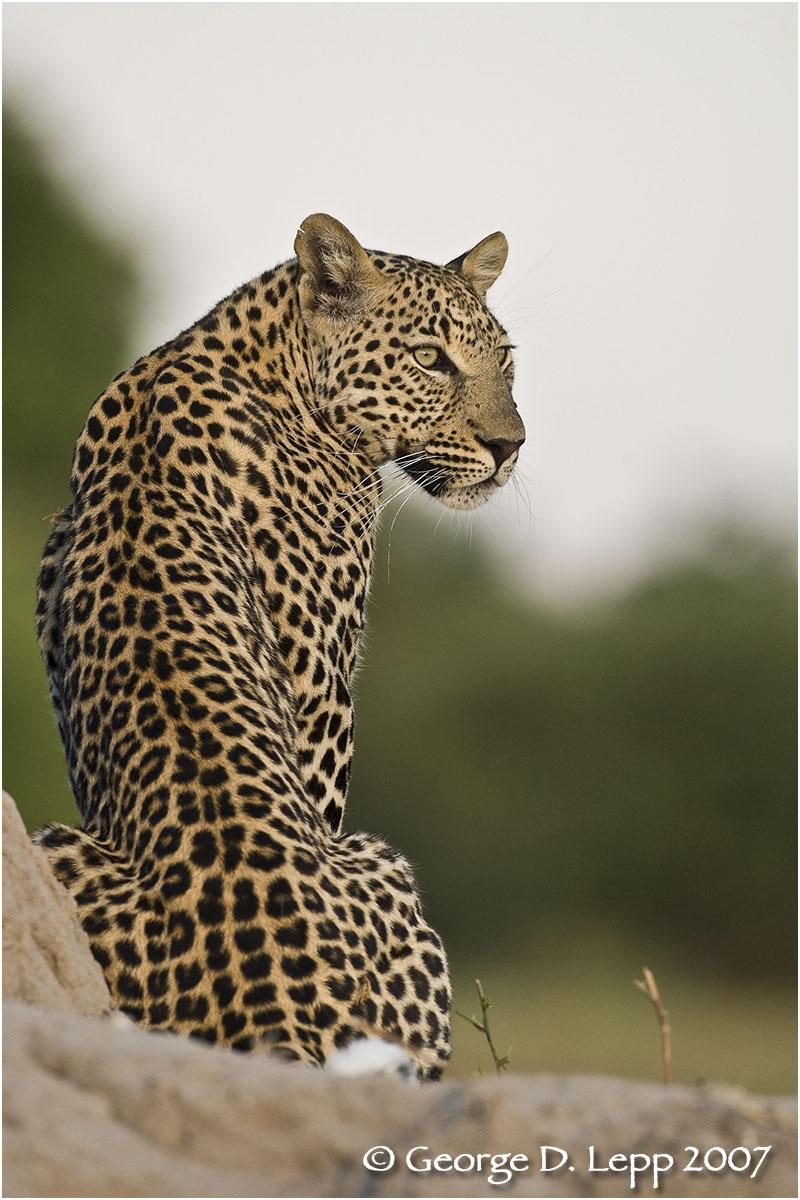 Leopard, Botswana. © George D. Lepp 2007 M-CA-LE-0018