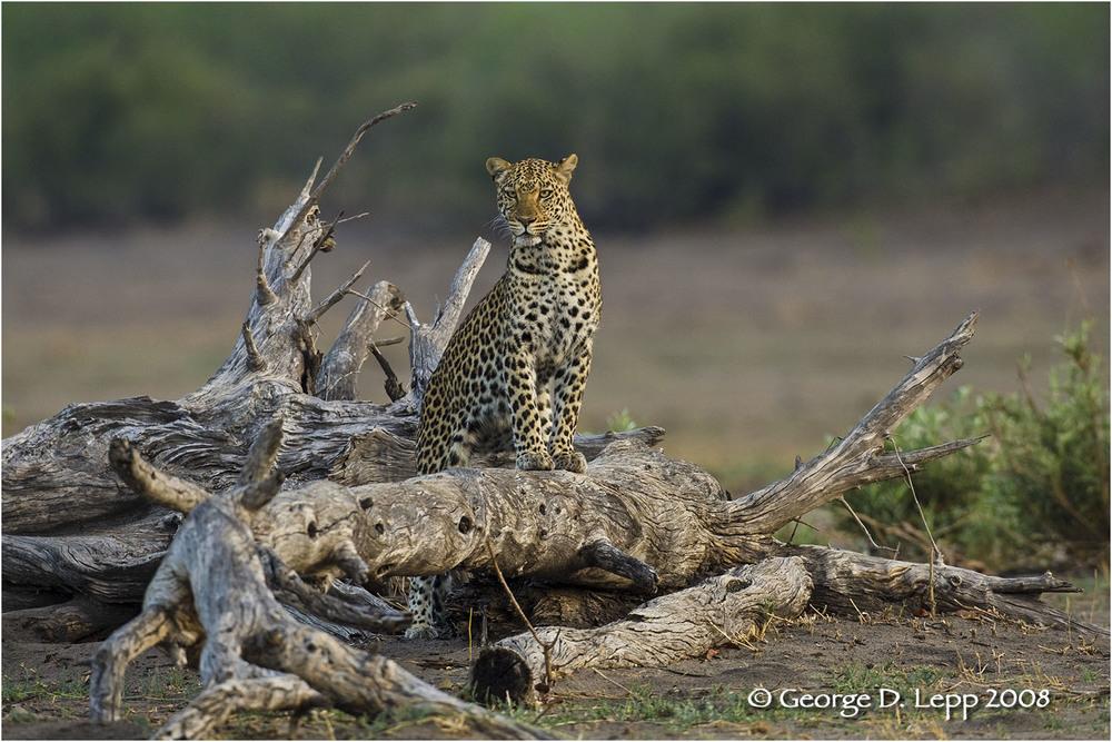 Leopard, Botswana. © George D. Lepp 2007 M-CA-LE-0001