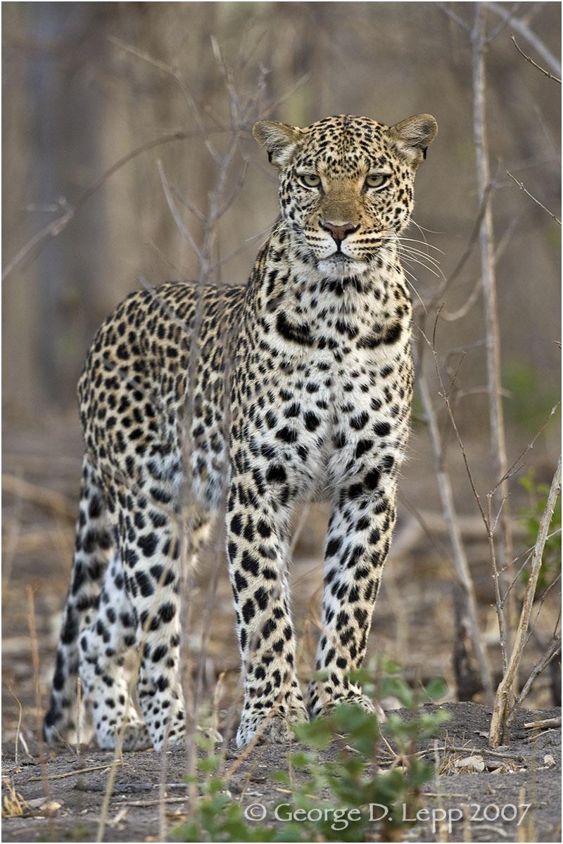 Leopard, Botswana. © George D. Lepp 2007 M-CA-LE-0030