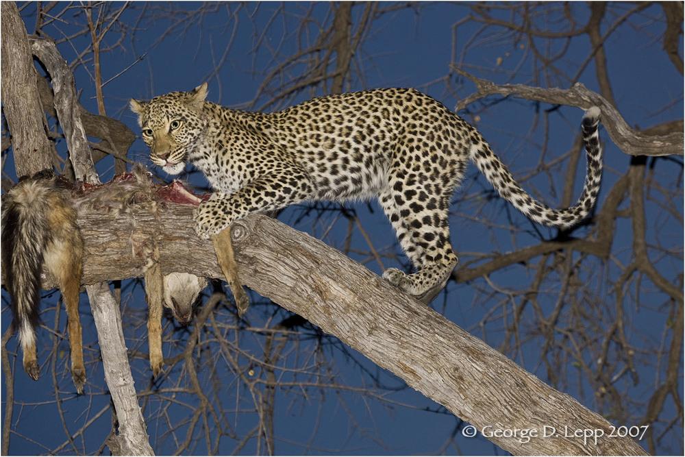 Leopard, Botswana, © George D. Lepp 2007 M-CA-LE-0050