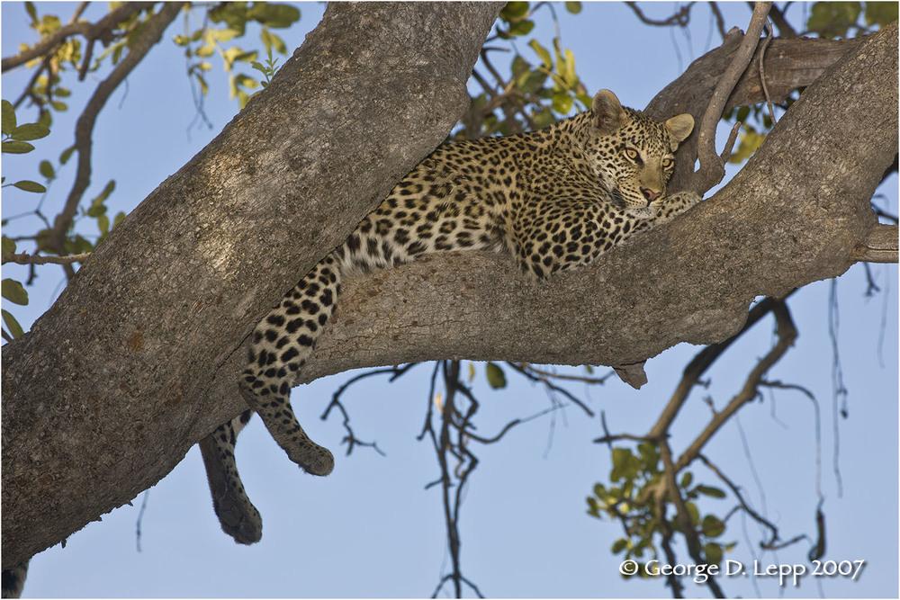 Leopard, Botswana. © George D. Lepp 2007 M-CA-LE-0010