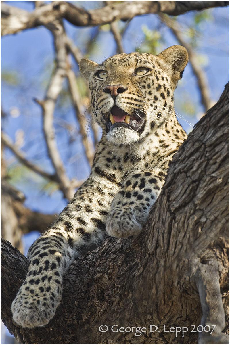 Leopard, Botswana. © George D. Lepp 2007 M-CA-LE-0013