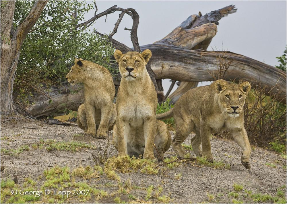 Lions, Duba Plains. Botswana. © George D. Lepp 2007 M-CA-LI-0009