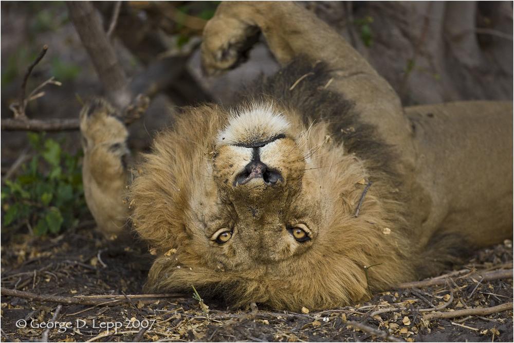 Lion, Duba Boy, Botswana. © George D. Lepp 2007 M-CA-LI-0004