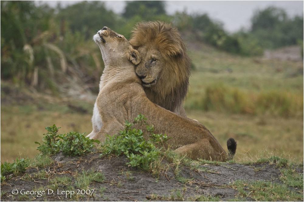 Lions, Duba Plains. Botswana. © George D. Lepp 2007 M-CA-LI-0006