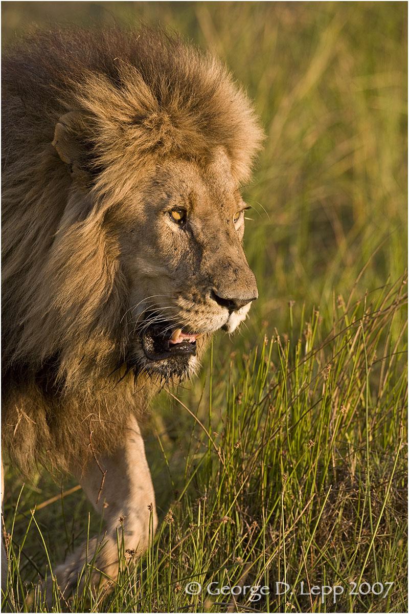 Lion male, Botswana. George D. Lepp 2007 M-CA-LI-0048