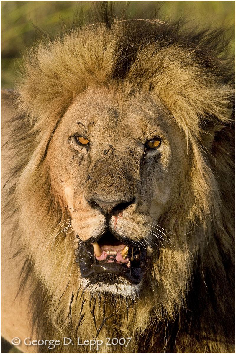 Lion male, Botswana. George D. Lepp 2007 M-CA-LI-0030
