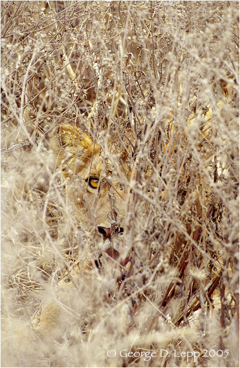 Lion, Tanzania. © George D. Lepp 2005 M-CA-LI-0037