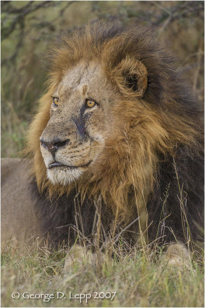 Lion male, Botswana. George D. Lepp 2007 M-CA-LI-0060