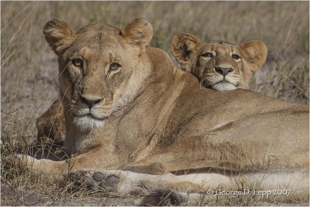 Lion male, Botswana. George D. Lepp 2007 M-CA-LI-0058