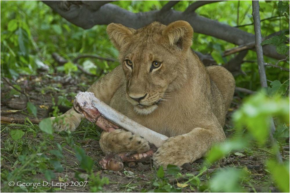 Lion male, Botswana. George D. Lepp 2007 M-CA-LI-0056