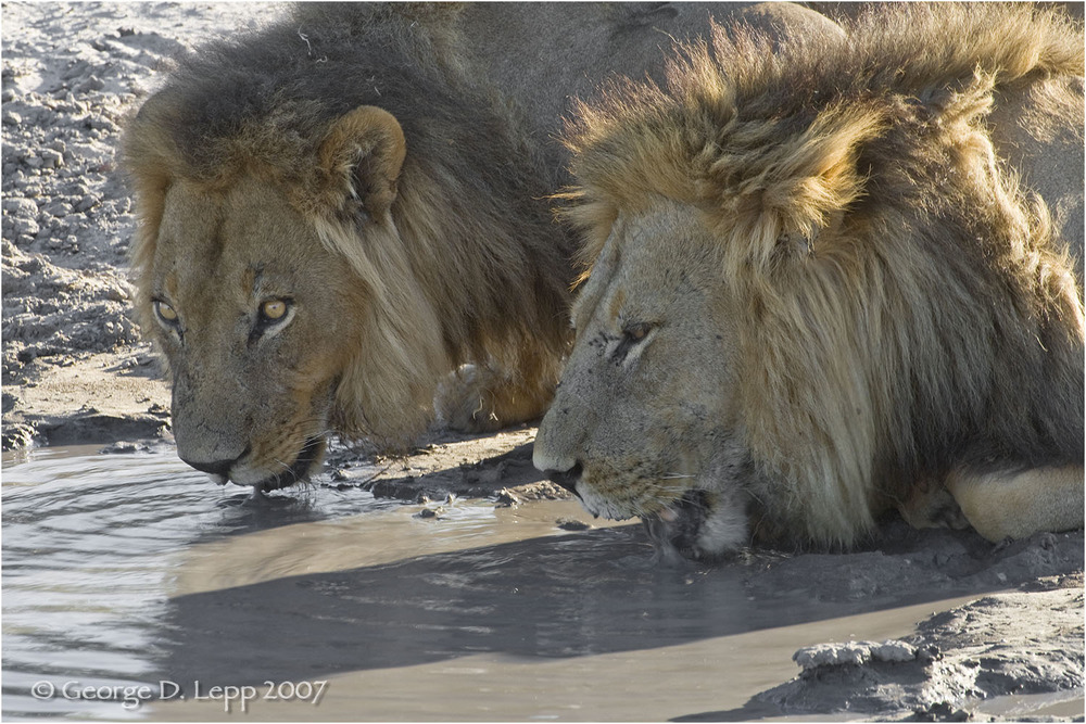 Lion male, Botswana. George D. Lepp 2007 M-CA-LI-0020